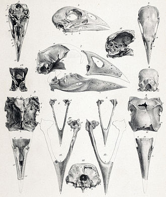 North Island takahē - Fossil cranial remains of P. mantelli (7-13) compared to those of a smaller, extant member of Porphyrio