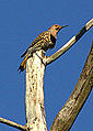 Northern Flicker (7158807877).jpg