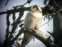 Northern Hawk Owl 2003-06.jpg