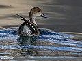 Northern Pintail (Anas acuta) (38061225996).jpg