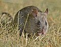 Norway or Brown Rat 01.jpg
