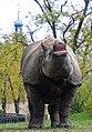 Nosorozec indyjski Gyan.jpg