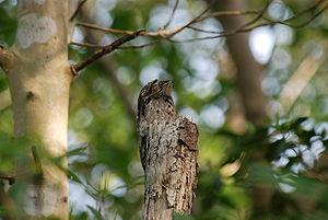 Common potoo - Image: Nyctibius griseus 471885191 27f 931630d o