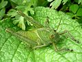 Nymph of Egyptian grasshopper. Anacridium aegyptium - Flickr - gailhampshire (5).jpg