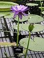 """Nymphaea """"Kew's Stowaway Blues"""" - geograph.org.uk - 1451986.jpg"""
