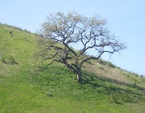 Oak at Upper Las Virgenes Canyon.JPG