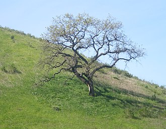 Victory Boulevard (Los Angeles) - Image: Oak at Upper Las Virgenes Canyon