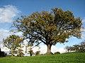 Oak trees in field - geograph.org.uk - 609588.jpg
