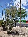 Ocotillo, Fouquieria splendens - panoramio (2).jpg