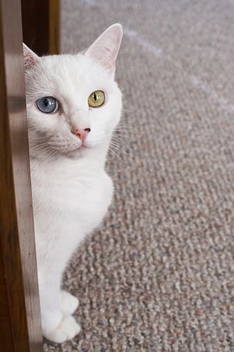 Odd-eyed cat - Odd-eyed white indoor cat