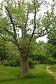 Odesa Starostina Garden Platan 51-101-5035 DSC 4472.jpg