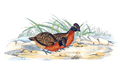 Odontophorus speciosus - 1700-1880 - Print - Iconographia Zoologica - Special Collections University of Amsterdam - UBA01 IZ17100191.png