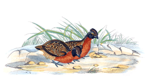 Rufous-breasted wood quail - Image: Odontophorus speciosus 1700 1880 Print Iconographia Zoologica Special Collections University of Amsterdam UBA01 IZ17100191
