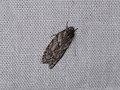 Oecophorinae sp. (39920348452).jpg