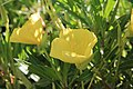 Oenothera 3437.jpg