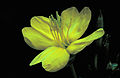 Oenothera biennis FWS-00.jpg