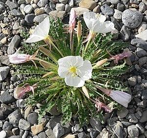Oenothera caespitosa - var. marginata