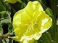 Oenothera missouriensis5.jpg