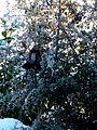 Ognik szkarłatny (Pyracantha coccinea M.Roem) 10.jpg