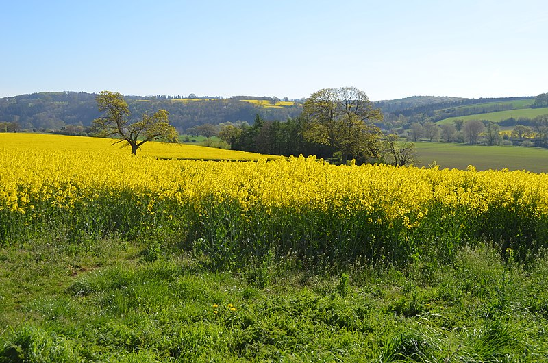 Oilseed rape in the Wye valley