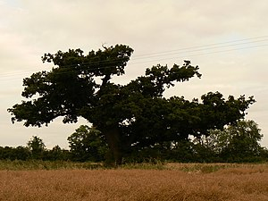 English: Old Oak Tree