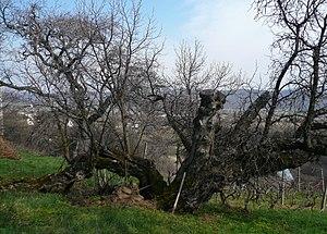 Morus nigra - Image: Old morus nigra tree