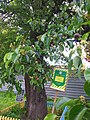 Old pear tree in Kyiv (May 2019) 2.jpg
