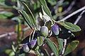 Olives(CYPRESSIMO) CL. J Weber (3) (23148274365).jpg