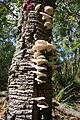 Omphalotus nidiformis Sylvan Grove 5 orig.JPG