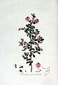 Ononis arvensis — Flora Batava — Volume v3.jpg