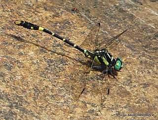 <i>Onychogomphus acinaces</i> species of insect
