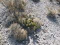 Opuntia microdysis (5690738491).jpg