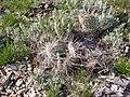 Opuntia polyacantha (3753464639).jpg