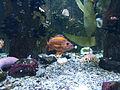 Orange Blotch Ripley's Aquarium, Myrtle Beach.JPG