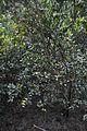 Orange Tree - Murshidabad 2014-11-29 0196.JPG