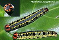 Orangetail awl Caterpillar 2010 06 09 IMG 9999 192 (5160177664).jpg