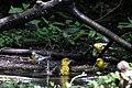 Orchard Oriole (female), Blue-winged Warbler & Northern Parula (bathing) Boy Scout Woods High Island TX 2018-04-11 12-51-53 (41800536591).jpg