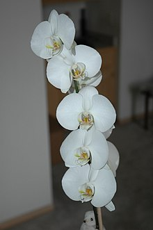 Graceful white orchid