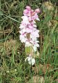 Orchis mascula Spanien Orchi 371.jpg