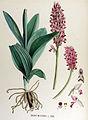 Orchis militaris — Flora Batava — Volume v17.jpg