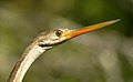 Oriental Darter Anhinga melanogaster by Dr. Raju Kasambe DSCN6918 (8).jpg