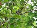 Oriental Magpie Robin - Copsychus saularis - P1040251.jpg