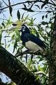 Oriental Pied-Hornbill, in Cherating, Malaysia.jpg