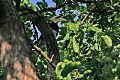 Oriental Pied Hornbill (Anthracoceros albirostris).jpg