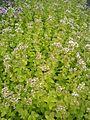 Origanum vulgare Aureum BotGardBln07122011F.JPG