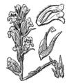 Orobanche alba illustration (01).png