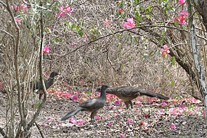 Plain chachalaca - Plain chachalacas can often be found in low scrubland