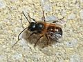 Osmia bicornis (Megachilidae sp.) male, Arnhem, the Netherlands.jpg