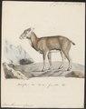 Ovis musimon - 1700-1880 - Print - Iconographia Zoologica - Special Collections University of Amsterdam - UBA01 IZ21300127.tif