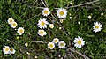 Oxeye Daisy (Leucanthemum vulgare) - Guelph, Ontario 2020-06-07 (04).jpg